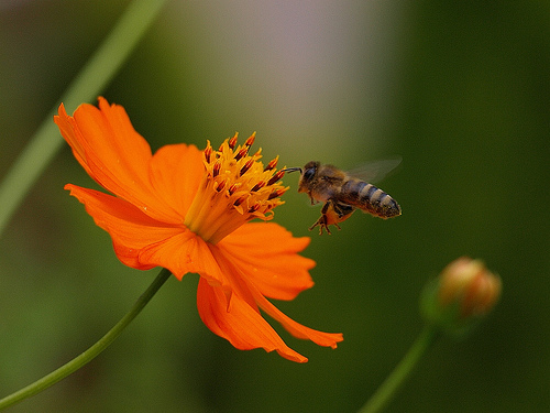 Bee attracted to sweet nectar